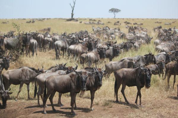 Res på safari i Serengeti och upplev den stora migrationen.